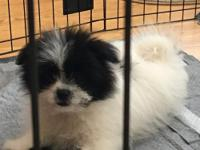 PUPPY AD Pomeranian/Shih Tzu designer breed. Mother is