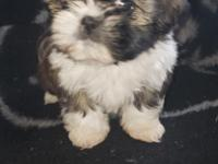 Lilly is shih-tzu and toy poodle mix.Dad is Shih-tzu
