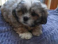 Male, purebred shih Tzu puppy..he is 9 weeks old. Doing