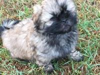 I have 1 absolutely gorgeous Shih Tzu pup, a male. He