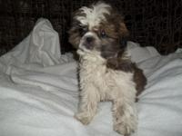 We have one extremely cute male Shih Tzu young puppy