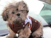 shih tzu puppys 900.00 Male 950.00 90% potty trained