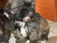 Meet our little brindle guy with a black mask,
