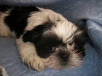 BeautifulLitterof Shih TzuPups! Home raised, Pups are