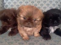 Selling three gorgeous puppies, ready and healthy and