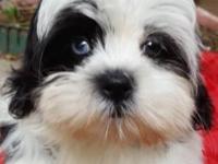 Super cute and friendly little Shih Tzu pups! I have
