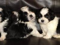 deposits are being taken now on 4 male ckc shih-tzu