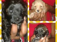 Shih Tzu/Poodle Mix puppies looking for a new home.