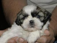 Our shih tzu's Bella and Riddick had a litter of 5