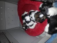 2 Shih Tzu baby girls will be ready for new homes on