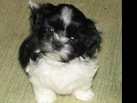 This perfect little Shih-Tzu's name is Tiny and is a