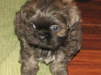 This purebred Shih Tzu puppy's name is Boy Blue. He is