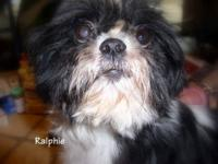 Shih Tzu - Ralphie - Small - Adult - Male - Dog I am a