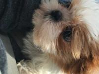 Reba is a two month old Shih Tzu that came to LWDR on