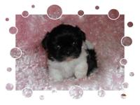 We have Shih Tzu babies that were born upon January