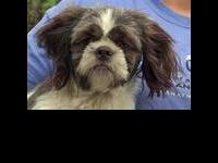 Shih Tzu - Robin - Small - Adult - Male - Dog For the