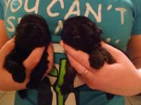 I have male Shih Tzu puppies, they are likewise