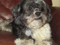 Shih Tzu - Savannah - Small - Young - Female - Dog