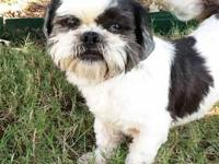 Shih Tzu - Scooter - Small - Adult - Male - Dog Scooter
