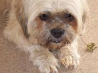 Shih Tzu - Shiloh - Small - Adult - Male - Dog Shiloh