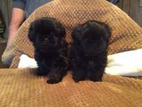 Two sisters pure bred blue Shih-Tzus has the sweetest