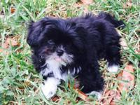 Adorable Pure Breed CKC papers Shih Tzu Female Puppy
