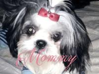 Adorable Pure Breed CKC Shih Tzu puppies for adoption
