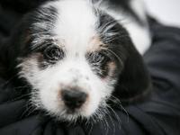 Shih Tzu - Sophie - Medium - Baby - Female - Dog You