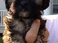 Shih Tzu - Sr Carter 2 - Small - Baby - Male - Dog