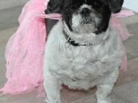 Shih Tzu - Sweet Pea - Small - Adult - Female - Dog