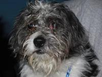 Shih Tzu - Tanner - Small - Young - Male - Dog Tanner's