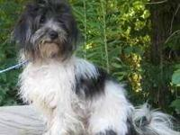 Shih Tzu - Teddy - Medium - Adult - Male - Dog Good