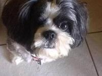 Shih Tzu - Toby - Small - Young - Male - Dog Toby is a