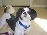 Shih Tzu - Toby - Small - Young - Male - Dog