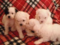 Four adorable male Toy Shih-a-Poo's. UTD on shots and
