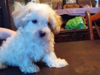 I have one 9 week old shih-poo teddy bear puppy left