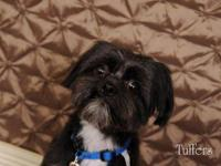 Shih Tzu - Tuffers - Small - Adult - Male - Dog Tuffers
