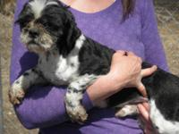 Shih Tzu - Webster - Small - Young - Male - Dog Webster