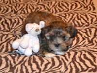 """ Shorkie "", Female ,adorable teddybear face. Small"