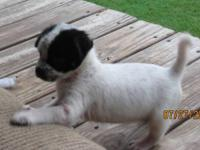 Shih Tzu - Ziggy - Small - Baby - Male - Dog Ziggy is