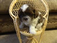 We currently have one shih-tzu puppy available, a dark