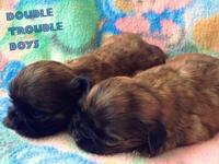 Three boys born on May 18th. Their coloring: brindle
