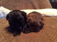 Two brothers pure bred Shih-Tzus born 12-28-2014 one is