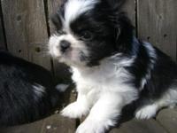 Purebred Shih Ztu puppy,8 weeks, hypoallergenic, will