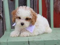 Adorable Shih Poo Puppies! Mother is a Shih Tzu & & Dad