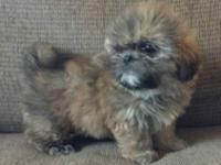 Shih Tzu - Annie - Small - Senior - Female - Dog Annie