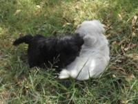 Designer breed Shih Tzu / Bichon puppies. Young puppies