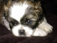Shih Tzu - Monkey - Small - Adult - Male - Dog Monkey