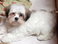 Adorable shih tzu. Poo mix. 9 weeks old. Up to date on