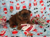 Kringle Jr is pick of litter, teacup imperial puppy